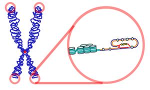 Telomere2
