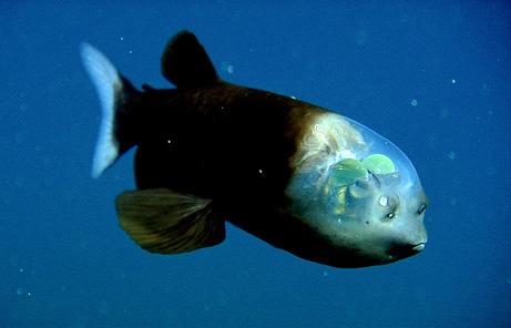 頭部透明的怪魚
