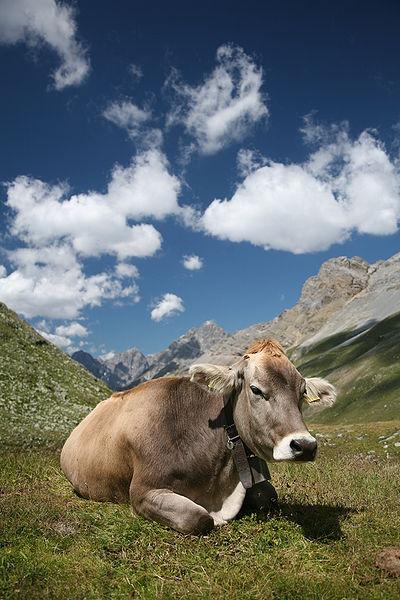cattle@wiki