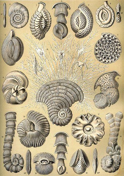 Haeckel_Thalamophora_12(wiki.ja)