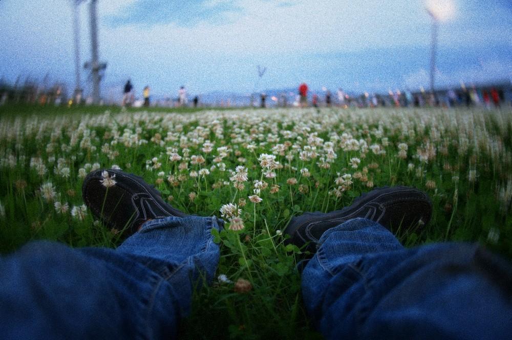 白花苜蓿(Trifolium repens)