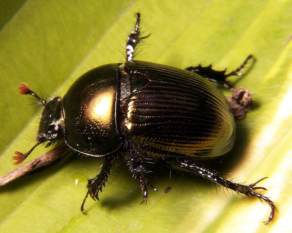 Dung_beetle_Geotrupes_sp
