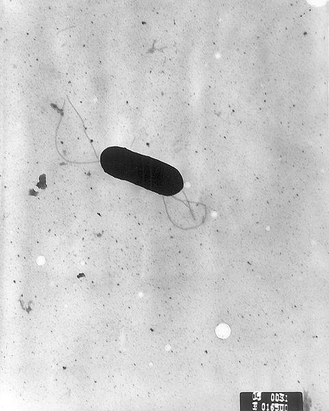 Listeria_monocytogenes_PHIL_2287_lores