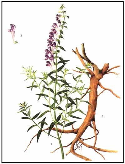 Scutellaria baicalensis