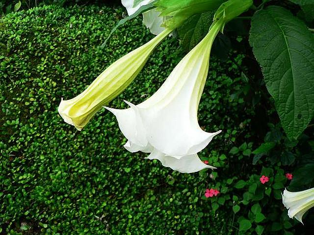 Datura stramonium_flora@Taiwan