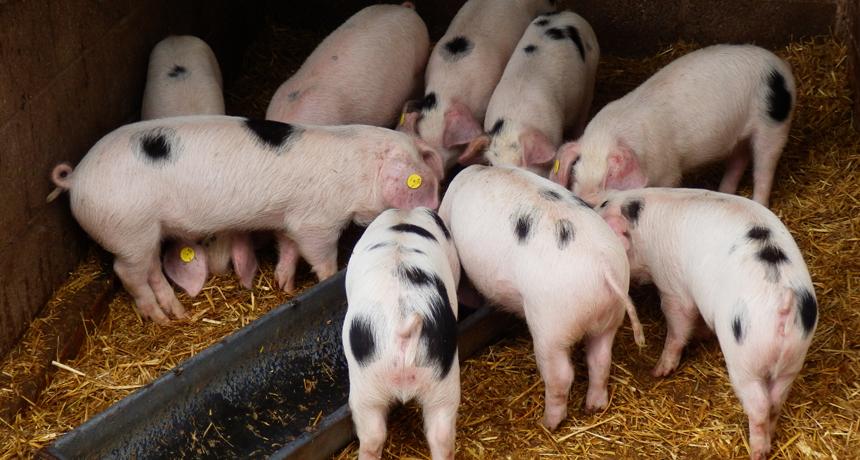 研究人員表示,餵食含有益生素的飼料可使豬隻免於施打抗生素,因為抗生素會產生抗藥性細菌。