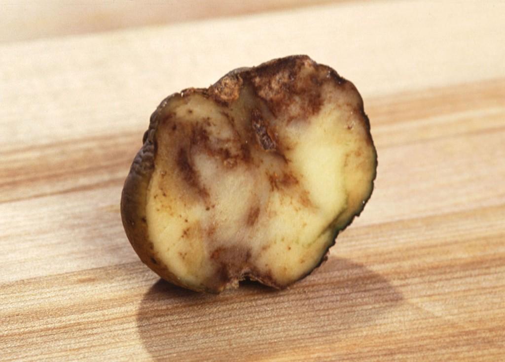 受晚疫菌感染的馬鈴薯。圖片來源:wiki