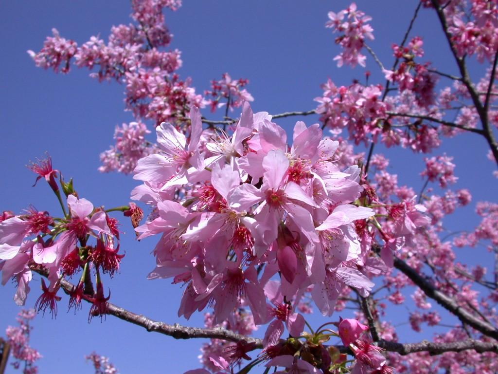 阿里山 千島櫻 www.letsgo-alishan.com