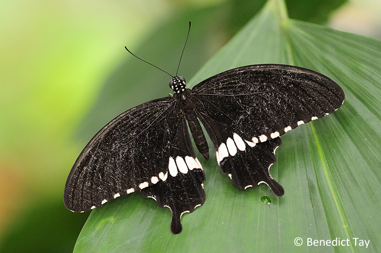 Papilio polytes romulus (Common Mormon) male
