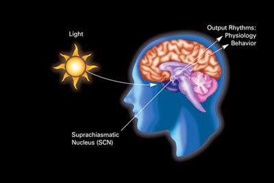 日光、視交叉上核、與生物時鐘之間的關係。 圖片來源:維基百科