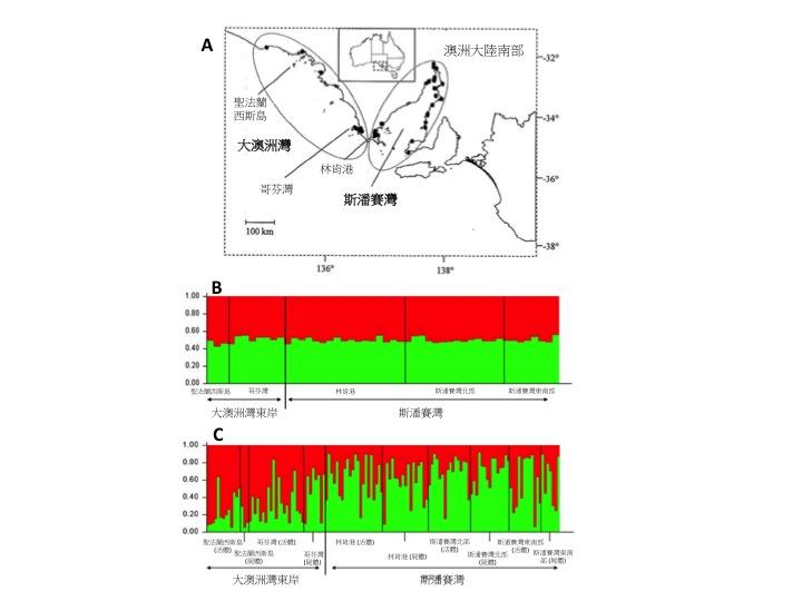 圖二、澳洲研究團隊收集擱淺瓶鼻海豚屍體的地點(A),以及使用族群遺傳分析軟體STRUCTURE得到的瓶鼻海豚族群組成圖 (B, C)。圖B為僅使用擱淺屍體,而圖C則是使用非侵入性活體採樣及擱淺屍體所預測出的族群模式。圖中每一直條為一個海豚樣本,而兩種顏色的比率代表這隻海豚屬於紅色或綠色族群的機率。在僅使用擱淺屍體的情況下(圖B)大澳洲灣東部和斯潘賽灣的海豚屬於紅色或綠色族群的機率大致相同,表示兩地海豚可視為同一族群;然而在加入使用大量的活體採樣標本後結果有了變化-結果顯示大澳洲灣東部的海豚大部分來自於紅色族群,而斯潘賽灣的海豚則多屬於綠色族群 (圖C)。(圖片改編Figures 1 and 5 inBilgmannet al.2011.PLoS One, 6: e20103.)