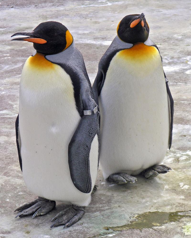 800px-Penguins_Edinburgh_Zoo_2004_SMC