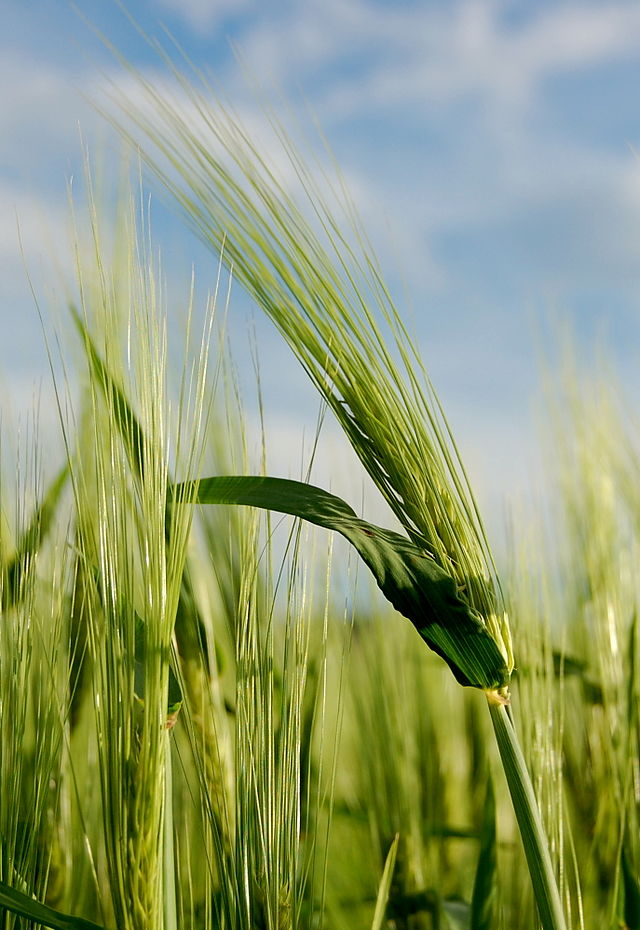 青稞(大麥)。圖片來源:維基百科