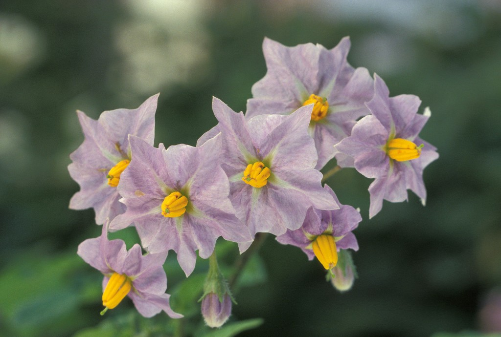 馬鈴薯花。圖片來源:wiki