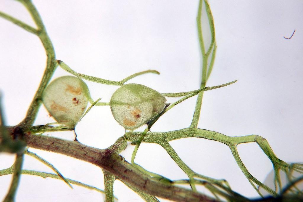 狸藻與它的捕蟲囊。圖片來源:wiki