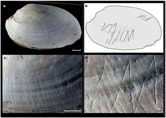 直立人在擬齒蚌貝殼上留下的鋸齒形刻痕(Joordens JC, et al. Nature. 2014 Dec 3. doi: 10.1038/nature13962.)