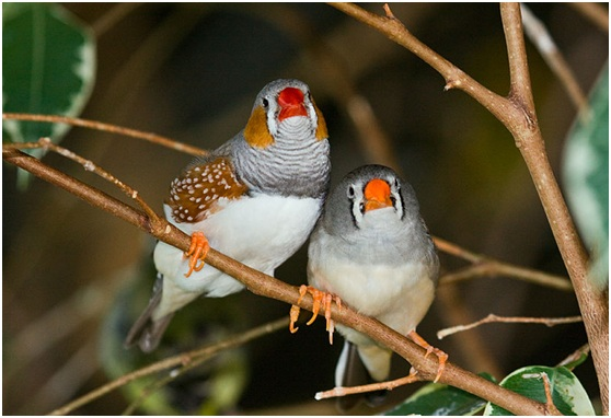 錦花雀(或稱斑胸草雀,zebra finch (Taeniopygia guttata)) Photo credit: Keith Gerstung from McHenry, IL, United States, CC BY 2.0
