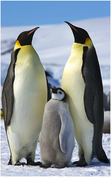 皇帝企鵝(emperor penguin (Aptenodytes forsteri)) Photo credit: Ian Duffy from UK, CC BY 2.0