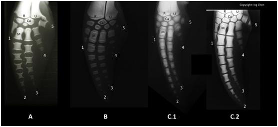 圖三:三種海豚的胸鰭骨骼排列比較。由左而右依序為中華白海豚(A)、真海豚(B)及瑞氏海豚(C); C.1和C.2是不同的瑞氏海豚個體。英文字母Ca為腕骨,M為掌骨,R為橈骨,U為尺骨。指頭先端的數字代表指頭的排列序。各位聰明的讀者,是否已經觀察出圖中每隻胸鰭之間微妙的差異了呢?(圖片來源:作者本人)