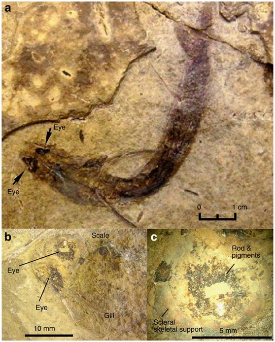 三億年前的Acanthodes bridgei化石(From Tanaka G, et al. Nat Commun. 2014 Dec 23;5:5920)
