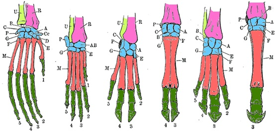 圖二:六種哺乳類動物的前肢骨骼排列模式。由左而右依序為紅毛猩猩、狗、豬、牛、貘、馬。後面四種皆為有蹄類動物。同顏色表示為同類型的骨骼。英文字母A-G, Cc和P為腕骨(carpals),M為掌骨(metacarpals),R為橈骨(radius)、U為尺骨(ulna),最先端綠色未標示者為指骨(phalanges)。指頭先端的數字代表指頭的排列序。(原圖取自並改編自Meyers Konversionlexikon, 1888.HandskelettebeiSäugetieren.)