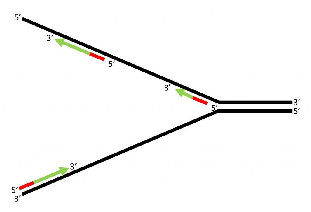 延遲股(lagging strand)的複製方式。製圖:葉綠舒