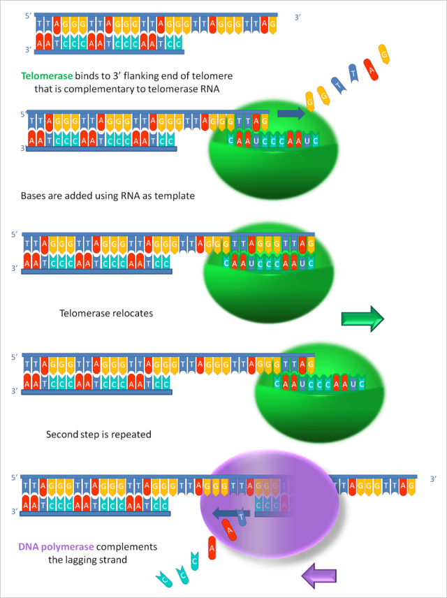 端粒酶作用圖解。圖片來源:wiki