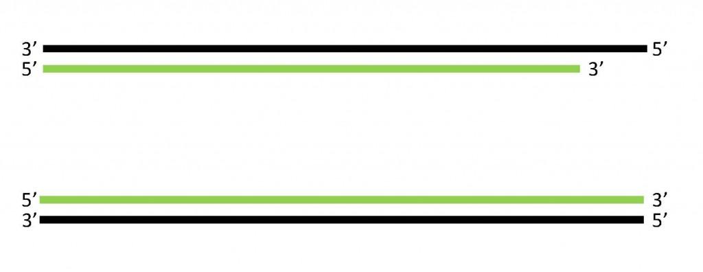 線狀DNA複製的最終產物。製圖:葉綠舒