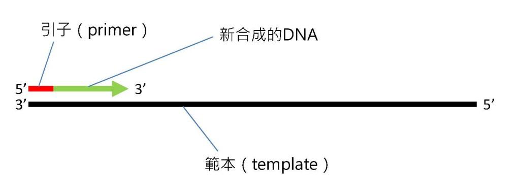 DNA聚合酶合成新DNA的方向。製圖者:葉綠舒
