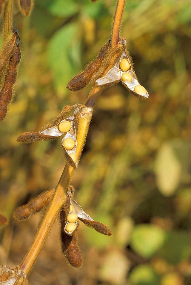 大豆。圖片來源:wiki
