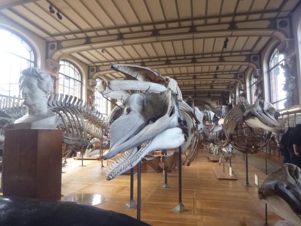 圖一:法國巴黎古生物學與比較解剖學博物館(Galerie de paléontologie et d'anatomie comparée)一樓主展廳內的鯨豚骨骼標本們。畫面正中央是一隻抹香鯨(只有下顎有多數對牙齒),抹香鯨後方是一隻鬚鯨(沒有牙齒),抹香鯨的左方是一隻喙鯨(只有下顎前端有一對牙齒)。抹香鯨右方是法國著名比較解剖學家Georges Cuvier的雕像。(圖片來源:筆者本人)