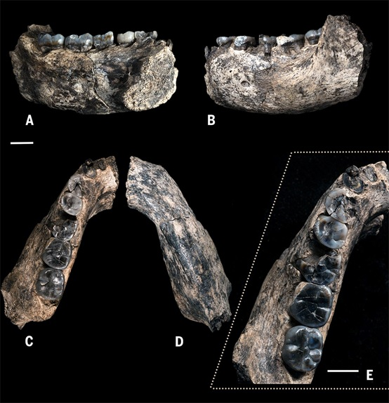 LD 350-1下頜骨和牙齒化石(Villmoare B, et al. Science. DOI: 10.1126/science.aaa1343 (2015))