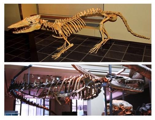 圖三:古鯨化石標本。上方為巴基鯨,下方為龍王鯨。圖片來源:Wikimedia Commons.