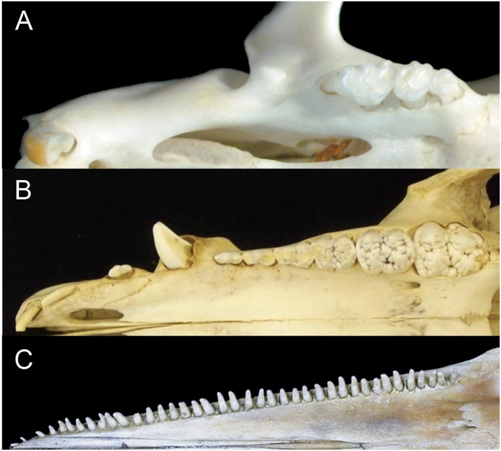 圖二:三種哺乳動物牙齒排列比較。A為小家鼠(一顆門齒、三顆臼齒),B是家豬(三顆門齒、一顆犬齒、四顆前臼齒、三顆臼齒。圖為幼年個體所以第三顆臼齒尚未冒出),C是熱帶斑海豚(單側34-48顆牙齒)。圖片來源:Armfield et al. 2013. PeerJ 1:e24.