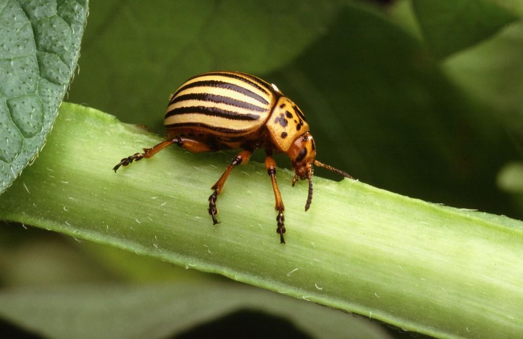 科羅拉多金花蟲(Colorado potato beetle,Leptinotarsa decemlineata)。 圖片來源:wiki