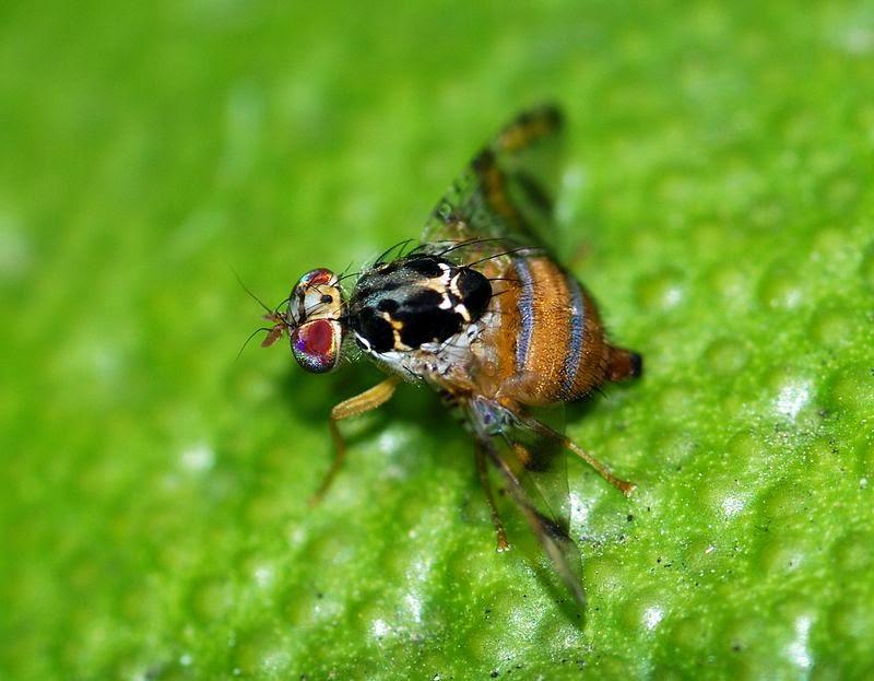 地中海實蠅。圖片來源:wiki