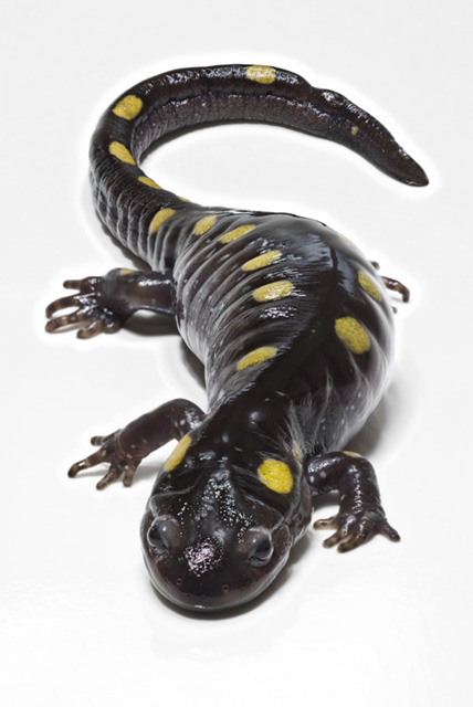 斑點鈍口螈。圖片來源:wiki