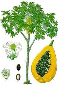 木瓜。圖片來源:wiki