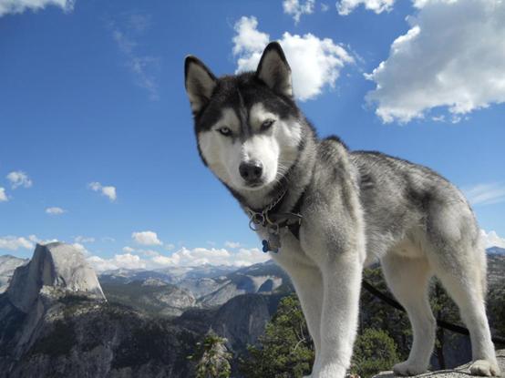 西伯利亞雪橇犬(Kazisdaman, CC BY-SA 3.0)