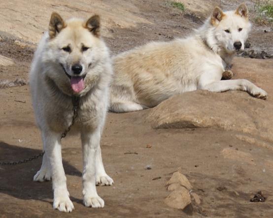 格陵蘭犬(Algkalv, CC BY-SA 3.0)