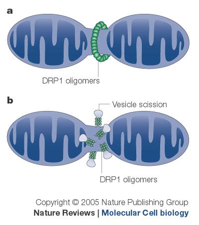 粒線體分裂的模型。圖片來源:Nature