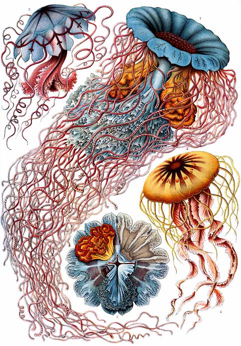 圖四:黑克爾手繪水母圖稿。圖中佔據最大版面空間的水母為Desmonema Annasethe (=Cyanea annasethe) ,黑克爾以早逝的妻子Anna Sethe命名的種類。黑克爾本身除了是傑出的解剖學家,同時也是出色的畫家。此圖發表於黑克爾1904年的著作「自然中的藝術百態(Kunstformen der Natur)」。圖片取自維基百科 (Public domain)。