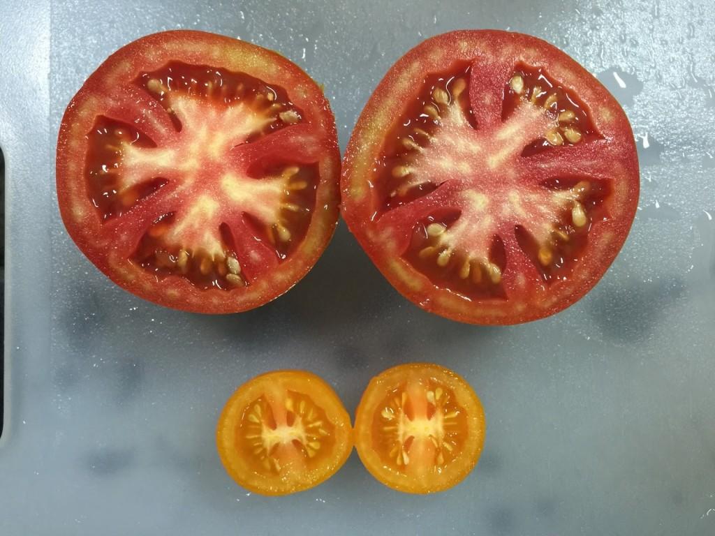 大蕃茄有四個子房室,小蕃茄只有兩個。 photocredit:葉綠舒