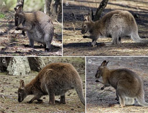 紅頸小袋鼠。圖片來源:Curr. Biol.