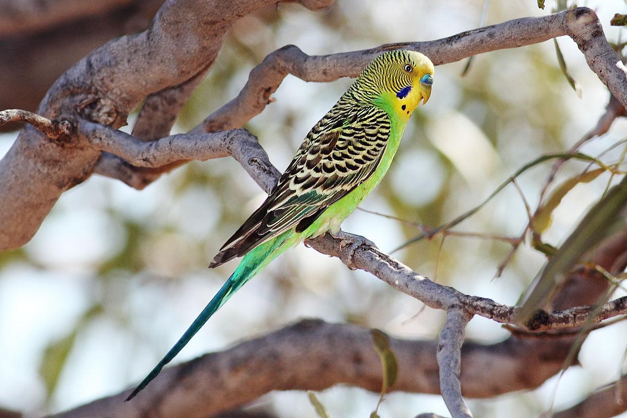 虎皮鸚鵡。圖片來源:wiki