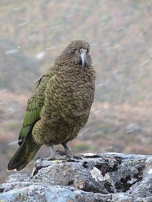 啄羊鸚鵡。圖片來源:wiki