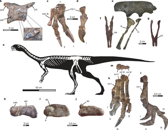 迭戈蘇亞雷斯智利龍(Chilesaurus diegosuarezi)的骨骼化石(Novas FE, et al. Nature. 2015 Jun 18;522(7556):331-4.)。