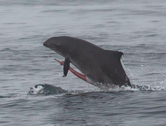 港灣鼠海豚與外露的生殖器。圖片提供:Ocean Defender Hawaii