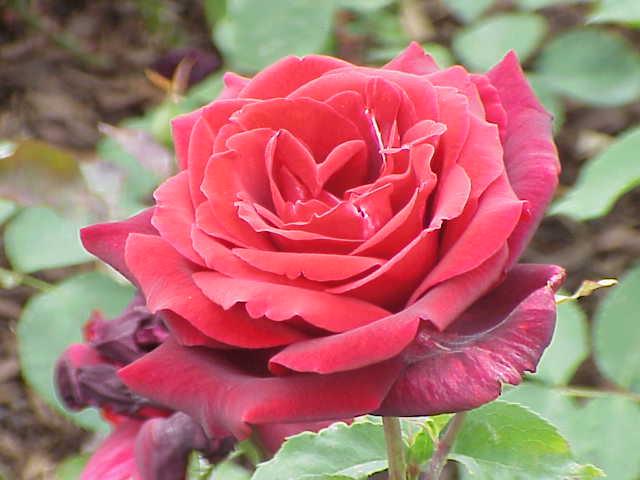 Papa Meilland 玫瑰。圖片來源:wiki_