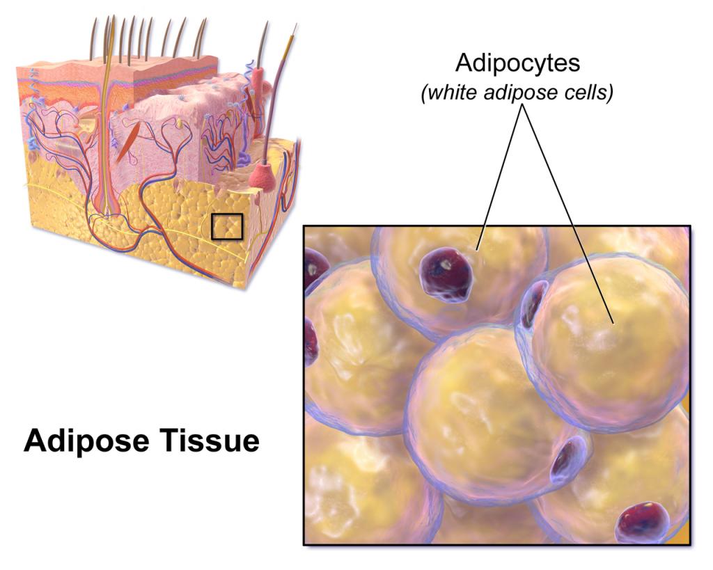 皮下白色脂肪組織。圖片來源:wiki